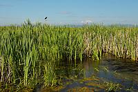 Williamson River, Klamath Marsh National Wildlife Refuge, Oregon, morning, yellow-headed blackbird.