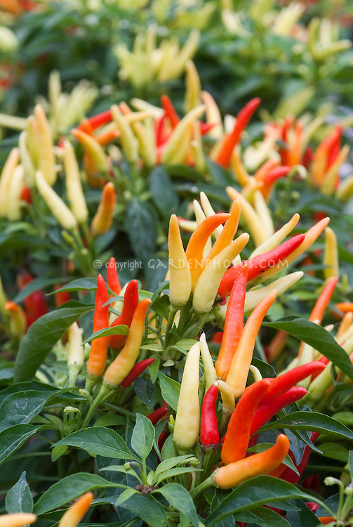 Ornamental fruit vegetable chile peppers