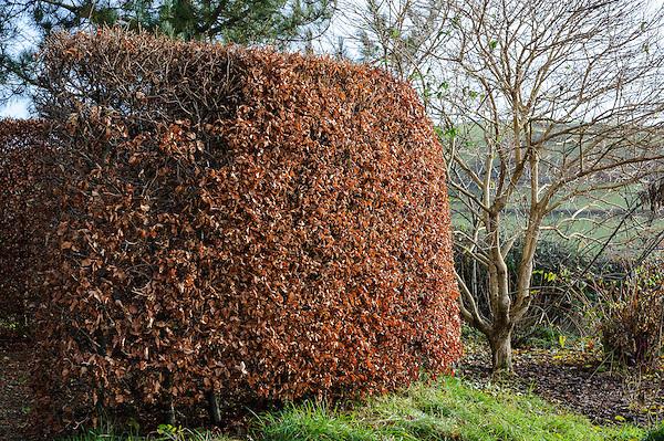 Fagus (Beech Circle)