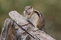 Golden-mantled Ground Squirrel, Spermophilus lateralis, adult on log with food stored in their cheek pouches, Rocky Mountain National Park, Colorado, USA, September 2006
