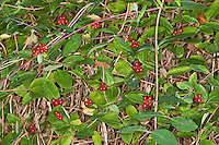 Wald-Geissblatt, Früchte, Frucht, Wald-Geißblatt, Waldgeissblatt, Waldgeißblatt, Wildes Geißblatt, Wald-Heckenkirsche, Lonicera periclymenum, Woodbine, Common Honeysuckle, European Honeysuckle