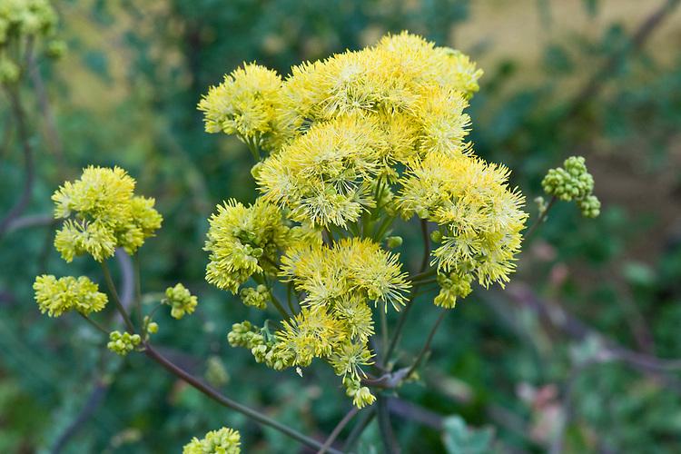 Yellow meadow rue (Thalictrum speciosissimum (Thalictrum flavum subsp. glaucum)), mid June.