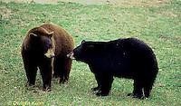 MA01-139z  Black Bear - brown phase and black phase - Ursus americanus