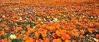 906500005 panoramic of field of flowers california poppies eschscholtzia californica and desert dandelion malacothrix glabrata lancaster poppy preserve antelope valley california