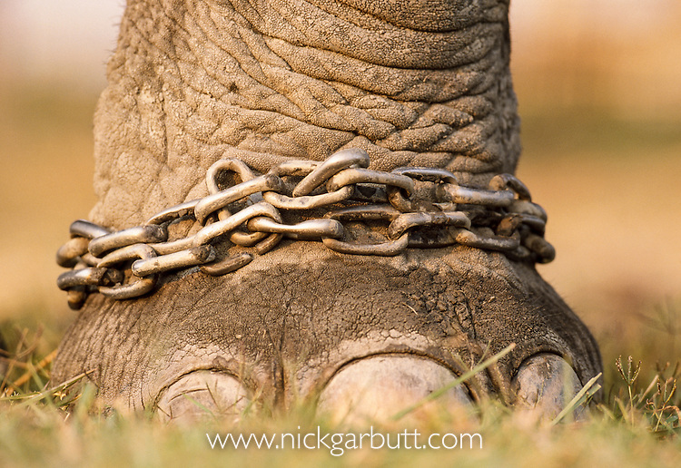 Close up of chained / shackled foot of domestic Indian Elephant (Elephas maximus), Kaziranga National Park, Assam, India.