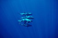 melon-headed whales, Peponocephala electra, off Big Island, Hawaii, Pacific Ocean
