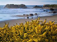 Gorse wildflowers and coastline at Bandon, Oregon.