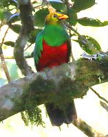 Golden-crowned quetzal