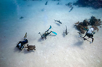 Scuba divers and underwater photographers interact with a turtle and Caribbean reef sharks, Carcharhinus perezii, Bahamas, Caribbean, Atlantic