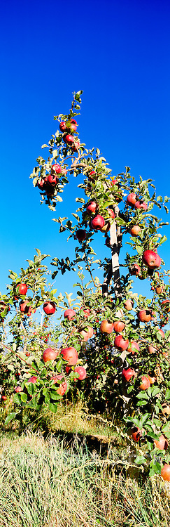 Ripe Red Apples growing on Orchard Tree, South Okanagan Valley, BC, British Columbia, Canada - Fresh Fruit