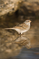 Chipping Sparrow, Spizella passerina, adult bathing, Uvalde County, Hill Country, Texas, USA, April 2006