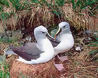 nesting pair of gray-headed albatrosses, Thalassarche chrysostoma, El Sehul, South Georgia Island, UK, Atlantic Ocean