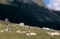 Cows lying in a hillside meadow, French Alps, France.