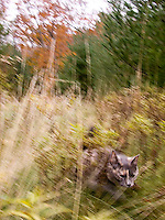 Cat running through tall grass<br />