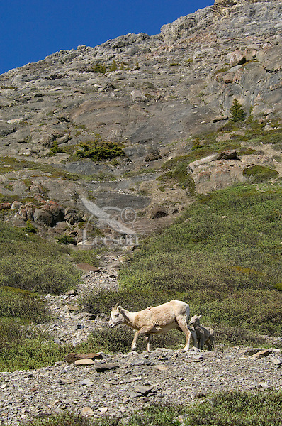 Bighorn Sheep or Mountain Sheep (Ovis canadensis) ewe with lamb.  Northern Rockies.  June.