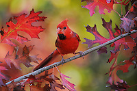 Northern Cardinal (Cardinalis cardinalis), young male perched on fall color branch of Texas Red Oak (Quercus buckleyi), New Braunfels, Hill Country, Central Texas, USA