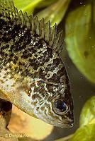 SS01-005a  Pumpkinseed Sunfish - Lepomis gibbosus