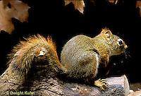 MA07-050z   Red Squirrel - looking around - Tamiasciurus hudsonicus