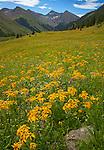 San Juan Mountains, CO<br /> Yellow flowereing sneezeweed (Dugaldia hoopesii) and purple flowering penstemon (Penstemon whippleanus) in an alpine meadow under summer skies near Animas Forks