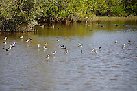 Mangrove Habitat - Black-necked Stilt (Himantopus mexicanus)