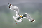 Herring Gull (Larus argentatus) in flight over Loch Na Keal, off the Isle of Mull, north west Scotland.