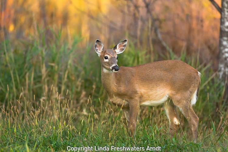 Alert white-tailed fawn standing in a Wisconsin field as the sun is setting.