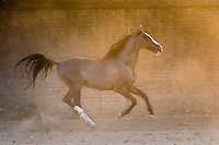 Marwari stallion running at sunset, Nawalgarh, Rajasthan, India