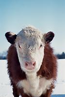 Heifer looking straight on, Missouri USA