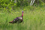 Tom turkey walking in a northern Wisconsin meadow.