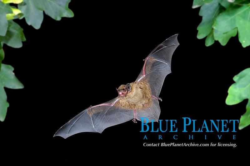 Lesser noctule or Leisler's bat (Nyctalus leisleri) in flight, Thuringia, Germany, Europe