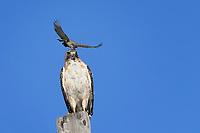 Western Kingbird pecks Red-tailed Hawk, West Texas roadside