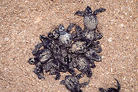 Kemp's ridley sea turtle hatchlings, Lepidochelys kempii, emerge from nest in hatchery, Rancho Nuevo, Mexico, Gulf of Mexico, Caribbean Sea, Atlantic Ocean