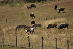 Horses and cattles at a ranch in Ura valley, Bumthang. Arindam Mukherjee..