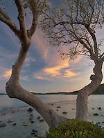 Branching tree with sunrise clouds. St. John. Virgin Slands