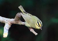 Adult worm-eating warbler