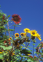 Helianthus annus Provence sunflowers mixture against deep blue sky on sunny summer day, showing tall stems and blooms
