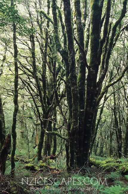 A bush scene near Wangapeka Saddle on the Wangapeka Track - Kahurangi National Park