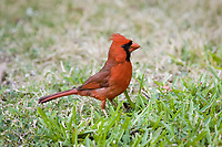 northern cardinal, Cardinalis cardinalis, adult, male, Florida, USA, North America