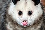 opossum close-up of face looking at camera.