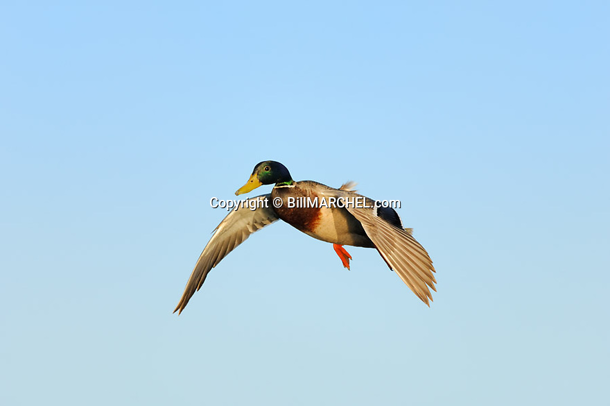 00330-079.20 Mallard Duck (DIGITAL) drake has its wings set as it is about to land.  Greenhead, hunt, waterfowl. H4F1