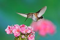Rufous Hummingbird (Selasphorus rufus), female in flight feeding on Geranium  flower, Gila National Forest, New Mexico, USA
