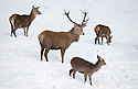 30/01/15<br /> <br /> A herd of deer brave the snowy conditions by a frozen pond at Calton Moor near Ashbourne in the Derbyshire Peak District.<br /> <br /> All Rights Reserved - F Stop Press.  www.fstoppress.com. Tel: +44 (0)1335 418629 +44(0)7765 242650