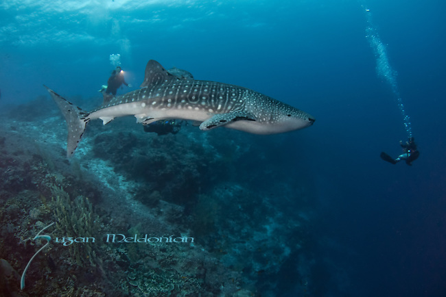 Whale shark on the reef, Rhincodon typus, Tubbataha, Philippines
