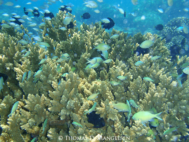 Colorful swim along the coral in the clear blue waters off Rangiroa, Tuamotus in French Polynesia.