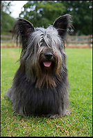 BNPS.co.uk (01202 558833)<br /> Pic: KennelClub/BNPS<br /> <br /> An adult Skye Terrier, only 27 puppies were born last year. <br /> <br /> Has this breed of dog had its day?<br /> <br /> There are fears the otterhound, Britain's rarest breed of dog, is on the verge of extinction after just seven puppies were born last year.<br /> <br /> While the coronavirus lockdowns sparked record sales of puppies like Labradors and French Bulldogs, the same can not be said for some traditional British species.<br /> <br /> Chief among them is the otterhound, one of Britain's oldest breeds that dates back to the 12th century.