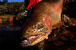 Rainbow Trout 09