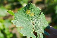 Vine leaf showing attack by downy mildew merlot chateau la tour bichot graves bordeaux france