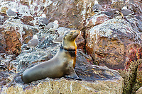 California sea lion, Zalophus californianus, hauled out with fishing line around its neck on Isla Rasita, Baja California, Mexico, Pacific Ocean