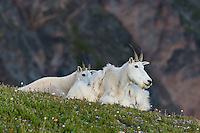 "Mountain Goat (Oreamnos americanus) nannies and kid on edge of alpine meadow in the Beartooth Mountains near the Wyoming/Montana border.  The closer nanny is still shedding from her heavy winter coat of fur to a new ""summer weight"" fur coat which will grow long again for the next winter."