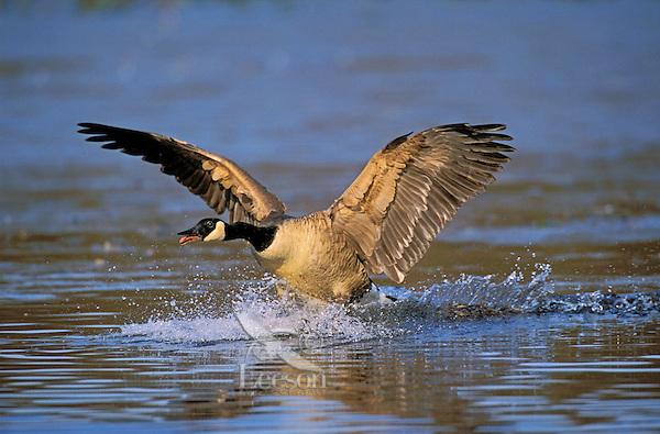 Canada Goose lifting off. North America. (Branta canadensis).